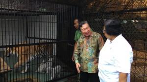 Menteri Lingkungan Hidup dan Kehutanan Siti Nurbaya saat meninjau penangkaran harimau di Taman Safari, Bogor, Sabtu (6/12)