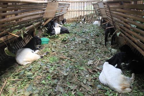 usaha peternakan sapi yang dibiayai KUR