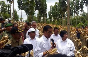 Presiden Jokowi didampingi sejumlah menteri meninjau lahan tumpang sari Perhutani yang ditanami jagung, di Kab. Blora, Jateng, Sabtu (7/3)