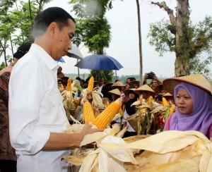 Presiden Jokowi memperhatikan hasil tanaman jagung saat panen raya di Desa Suku, Kec. Pulung, Kab. Ponorogo, Jatim, Jumat (6/3)