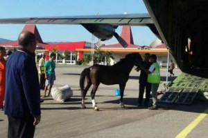 Sandalwood Horse, native to West Sumba is prepared to be transported to Jakarta by using Hercules Aircraft (Photo by: IST)