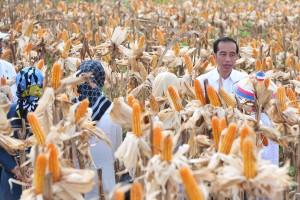 Presiden Jokowi melaksanakan panen raya jagung, di Desa Botuwombatu, Kabupaten Gorontalo Utara, Provinsi Gorontalo, Jumat (1/3) siang. (Foto: JAY/Humas)
