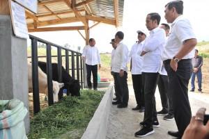 Presiden Jokowi meninjau peternakan sapi di Desa Parsingguran, Kecamatan Pollung, Kabupaten Humbang Hasundutan, Sumut, Rabu (31/7) siang. (Foto: JAY/Humas)